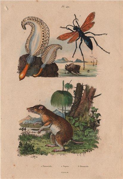 Associate Product Pennatula (sea pen). Pepsis (tarantula hawk). Péraméle (Bandicoot) 1833 print