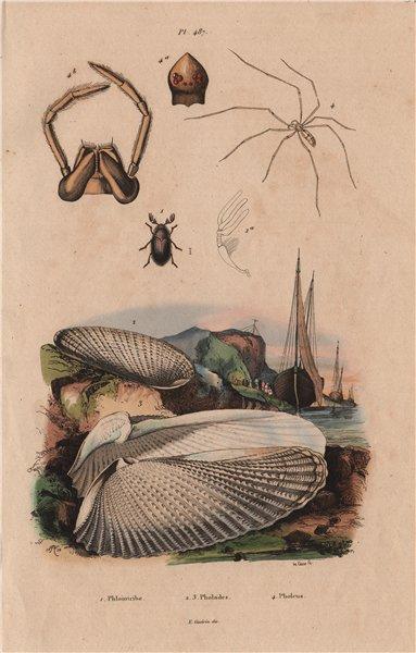 Associate Product ANIMALS. Phloiotribe. Pholadidae (Piddocks). Pholeus (Cellar Spider) 1833
