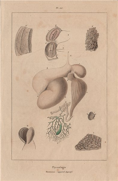 Associate Product PHYSIOLOGY. Ruminans (appareil digestif). Ruminant digestive system 1833 print