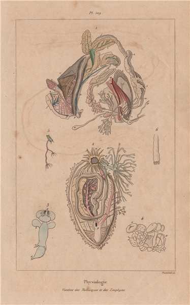 Associate Product MOLLUSC PHYSIOLOGY. Viscères Viscera digestive system. Mollusques Zoophytes 1833