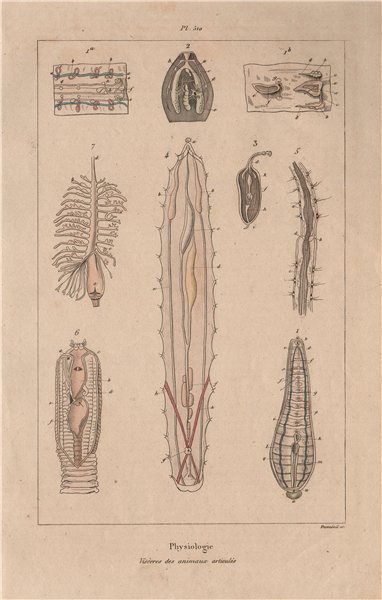 Associate Product PHYSIOLOGY. Viscères (Viscera) des animaux articulés. Articulated animals 1833