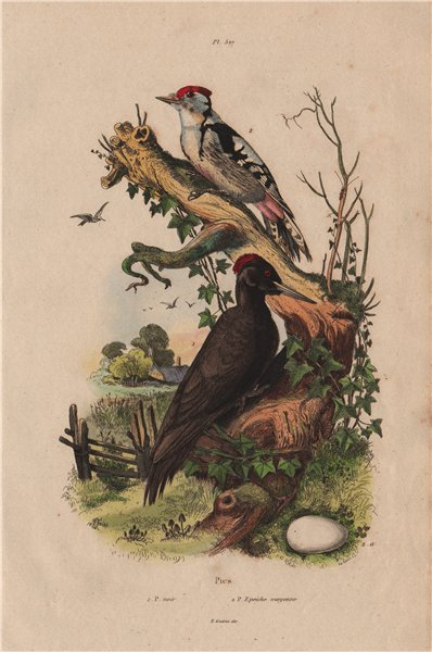 Associate Product Pic Noir/Epeiche moyenne. Black & juvenile Great Spotted Woodpeckers 1833