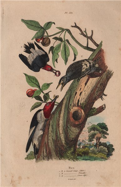 Associate Product RED-HEADED WOODPECKER. Male Female Juvenile 1833 old antique print picture