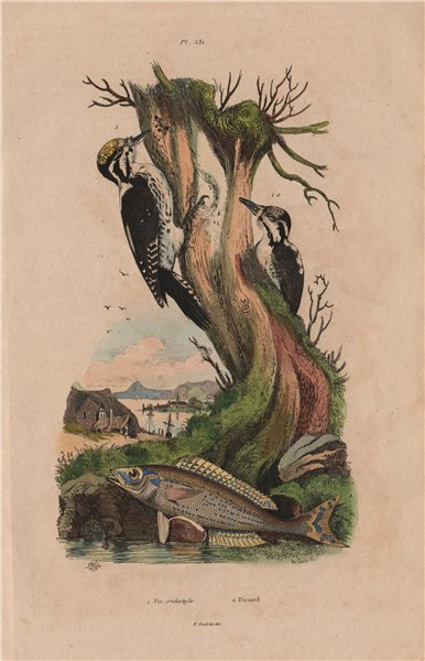 Associate Product Pic Tridactyle (Eurasian Three-Toed Woodpecker). Picarel fish 1833 old print