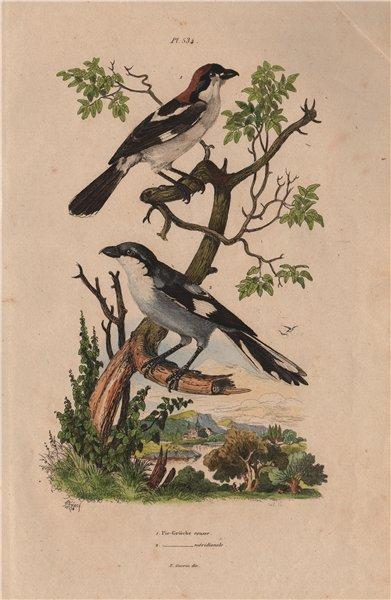 Associate Product Pie-Grièche à tête rousse/méridionale (Southern Grey & woodchat shrikes) 1833