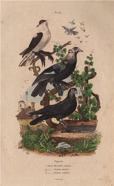 Associate Product PIGEONS. Swallow pigeon. Glouglou tambour. Polonais ordinaire. Polish 1833