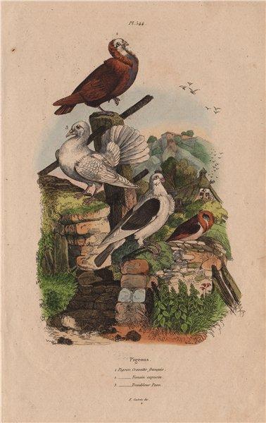 Associate Product Pigeons. Cravatte français. Nonain capucin. Trembleur Paon (Fantail) 1833
