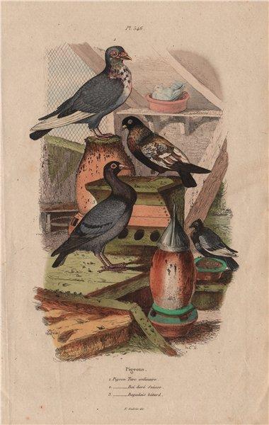 Associate Product PIGEONS. Turkish. Bai doré Suisse swiss. Bagadais bâtard 1833 old print
