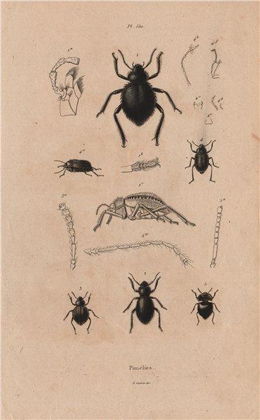 Associate Product INSECTS. Pimélies (Pimelia - Darkling beetles) 1833 old antique print picture