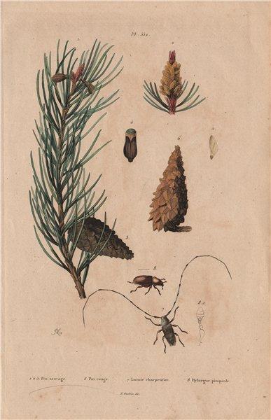 Associate Product Scots pine. Red Pine. Lamie tisserand/Long-horned beetle.Hylurgus piniperda 1833