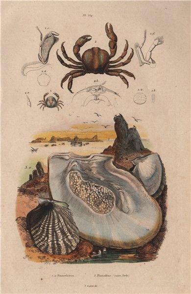 Associate Product SEALIFE. Pinnothères (pinnotheres crabs). Pintadine (Pinctada/Mother Pearl) 1833