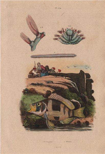 Associate Product FISH. Plectropomus (Coraltrout). Plèione 1833 old antique print picture