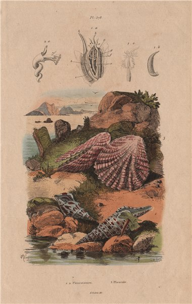Associate Product MOLLUSCS. Pleurotomia. Plicatula 1833 old antique vintage print picture