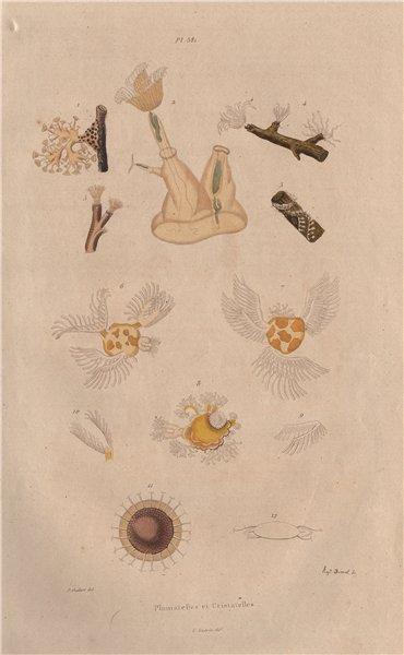 Associate Product ANIMALS. Plumatella & Cristatella. Bryozoans. Moss Animals 1833 old print