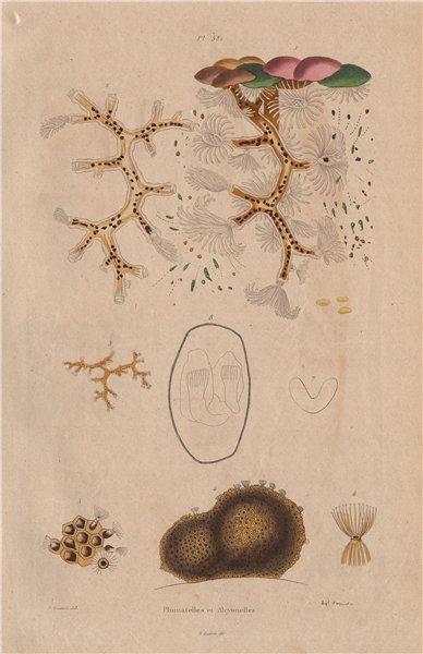 Associate Product BRYOZOA. Plumatella & Alcyonella 1833 old antique vintage print picture