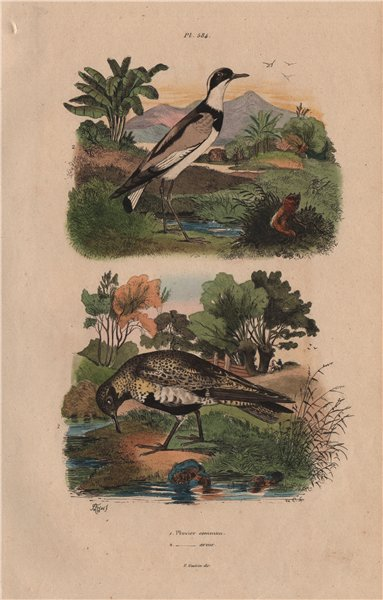 Associate Product PLOVERS. Pluvier Commun (Common Plover). Pluvier armé (Ringed Plover) 1833