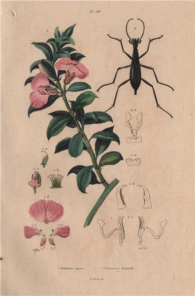 Associate Product Podalyria sericea (Cape satin bush). Carabus blaptoides (ground beetle) 1833