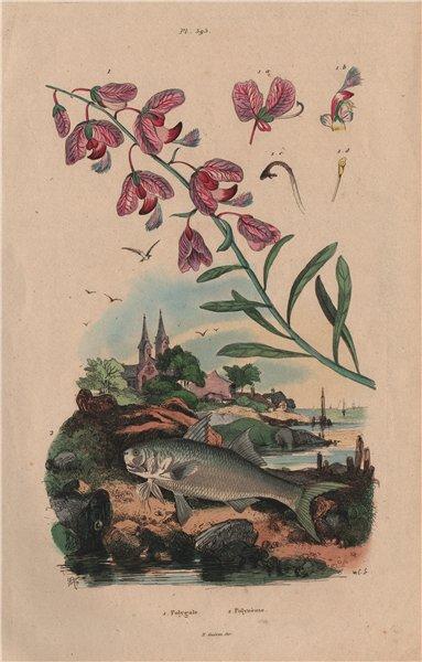 Associate Product BOTANICALS. Polygale (Milkwort). Polynemidae (Threadfin) 1833 old print