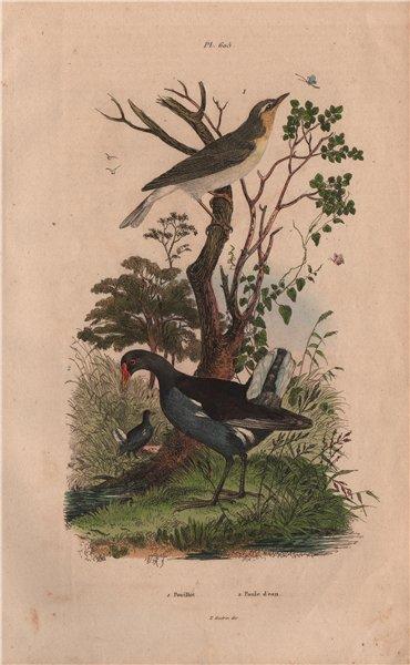 Associate Product BIRDS. Pouillot (Warbler). Poule D'Eau (Common Moorhen) 1833 old antique print