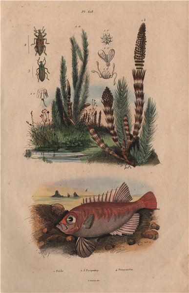 Associate Product Prèle (Horsetail). Prépodes. Priacanthidae (bigeye fish) 1833 old print