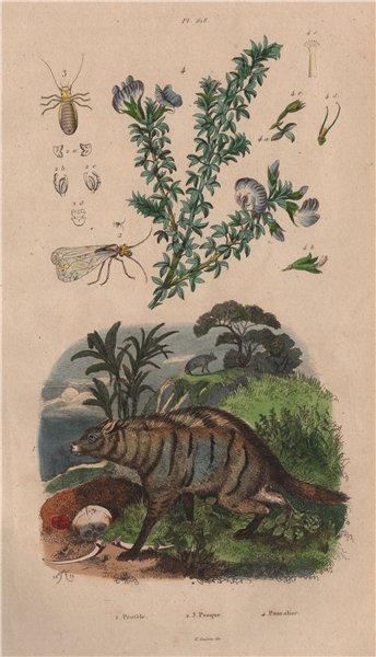 Protèle (Aardwolf). Psocoptera (booklice). Psoralea (tumbleweed) 1833 print