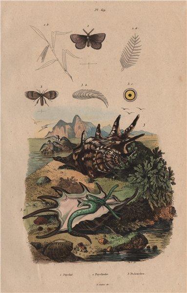 Psychodidae (moth flies). Lambis lambis (spider conch) 1833 old antique print