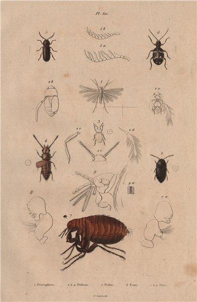 Associate Product Pterophoridae (plume moth). Ptilium Ptilinus. Ptine (Spider Beetle). Flea 1833