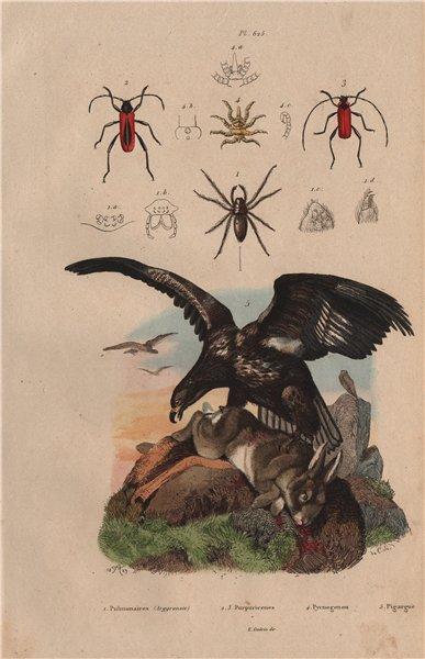 Associate Product Sea eagle. Argyroneta/Diving bell spider. Purpuricenus beetles. Sea spider 1833