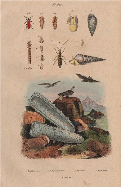 Associate Product Pygidicrana. Pyramidella. Pyrochroa (Cardinal Beetle). Pyrosoma (tunicate) 1833