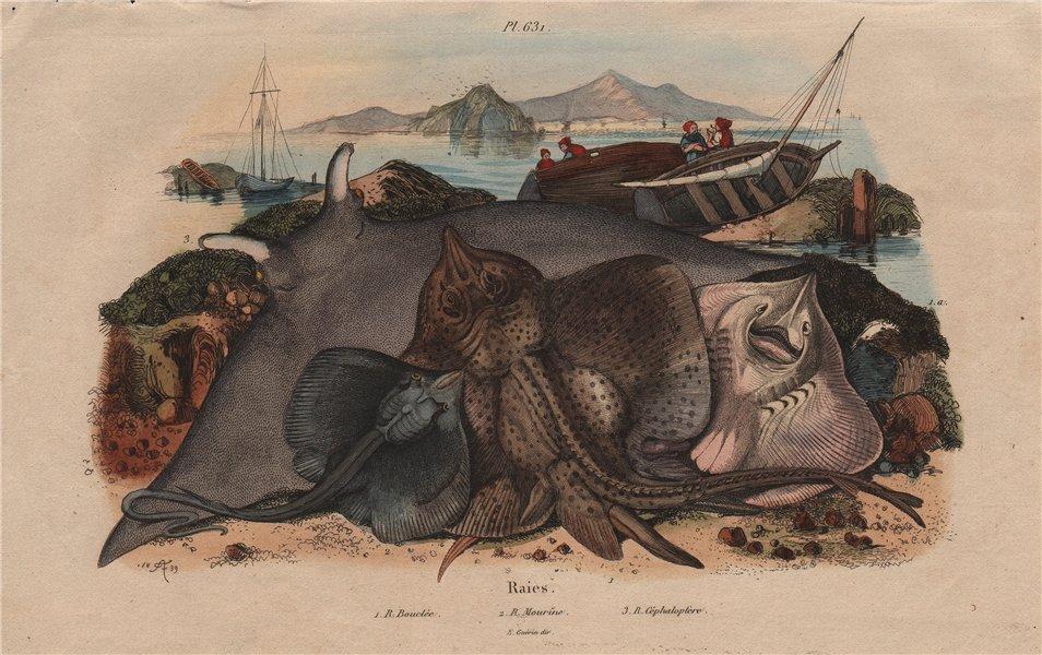 Associate Product Raies Bouclée Mourine Céphaloptère (Thornback ray / Eagle ray / Manta ray) 1833