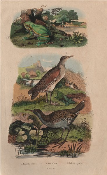Associate Product Rainette/European tree frog. Rale d'eau/Water Rail. Rale Genets/Corncrake 1833