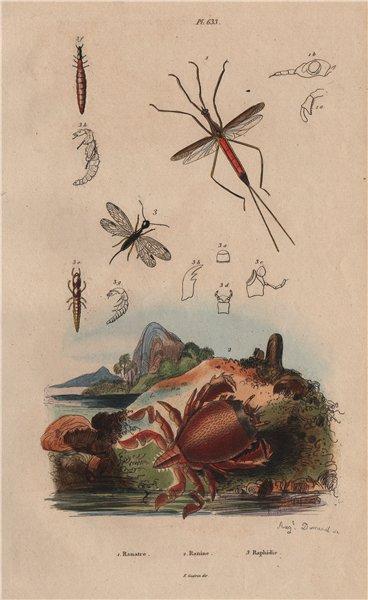Associate Product Ranatra bug. Ranina (spanner crab). Raphidioptera (snakeflies) 1833 old print
