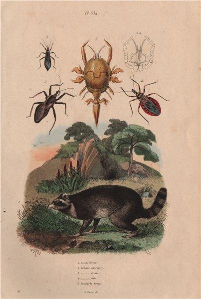 Associate Product Raccoon. Reduviidae. Masked hunter assassin bug. Assassin bug saw.Remipedia 1833
