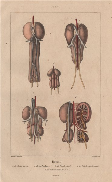 Associate Product BIRD KIDNEYS. Grebe. Coot. Booted/Short-toed Snake Eagle. Swallow 1833 print