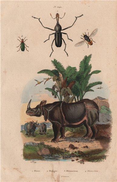 Associate Product Rhinoceros beetle. Rhingia/hoverfly. Rhinosimus/narrow-waisted bark beetle 1833