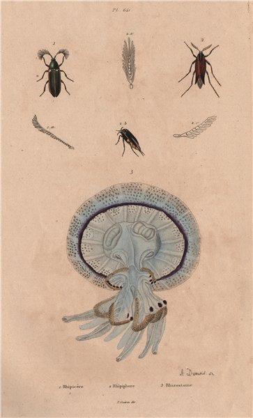 Associate Product Rhipicera (Australian Dascilloid beetle). Rhipiphorus.Rhizostomae jellyfish 1833
