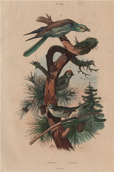 Associate Product BIRDS. Roitelet (Wren). Rollier (Roller) 1833 old antique print picture