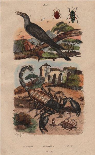 Associate Product Scorpions.Graphosoma (striped shield bug).Scythrops (Channel-billed Cuckoo) 1833