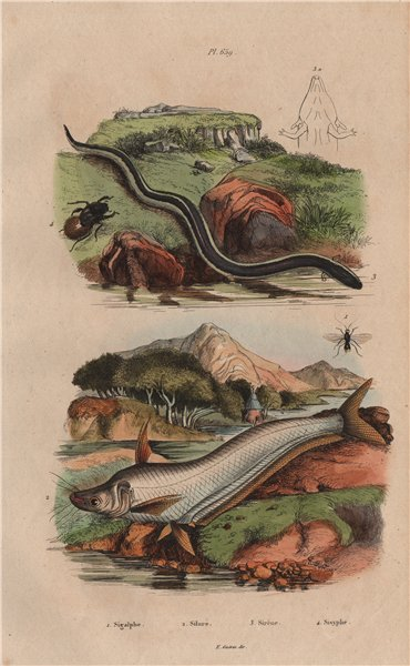 Associate Product Sigalphinae. Catfish. Greater siren amphibian. Sisyphus (dung beetle) 1833