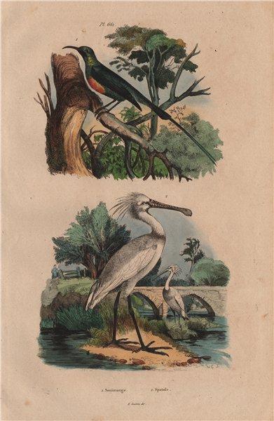 Associate Product BIRDS. Souimanga (Sunbird). Spatule (Spoonbill) 1833 old antique print picture
