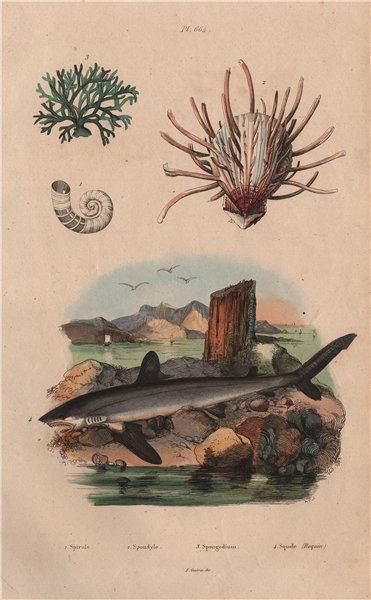 Associate Product Spirula. European thorny oyster. Spongodium. Squalus acanthias (Dogfish) 1833