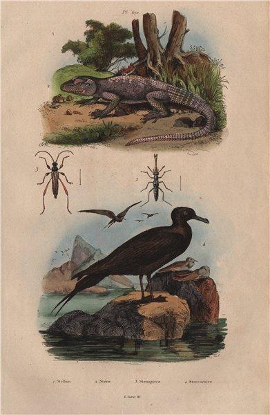 Associate Product Stellagama stellio. Stenus palposus & Stenopterus beetles. Skua 1833 old print