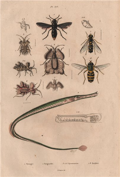 Associate Product Synagris/potter wasp.Syngnathe/Pipefish.Coreus margin. Episyrphus/hoverfly 1833