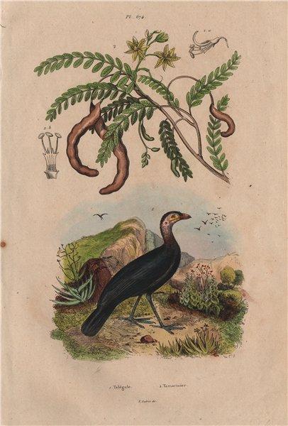 Associate Product Talégale (Australian Brushturkey). Tamarinier (Tamarind tree) 1833 old print