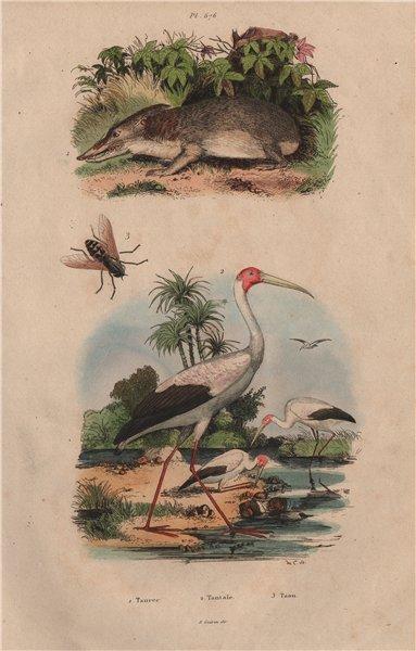 Associate Product INSECTS. Tanrec (Tenrec). Tantale (Mycteria stork). Taon (Horsefly) 1833 print