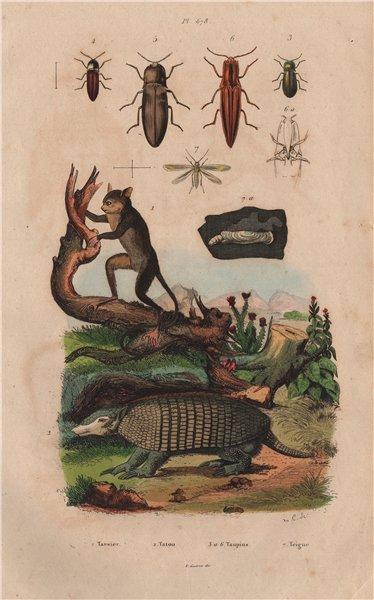 Associate Product Tarsier. Tatou (Armadillo). Taupin (click beetle). Teigne (moth) 1833 print