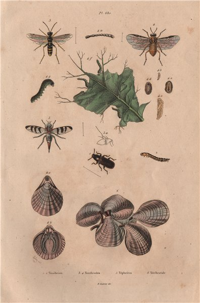 Associate Product Mealworm. Tenthredes (Sawflies). Téphrites (Euthera fly). Terebratulids 1833