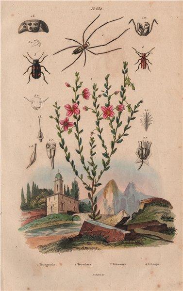 Associate Product Tetragnatha (stretch spider). Tetratheca. Blister & Red-milkweed beetles 1833