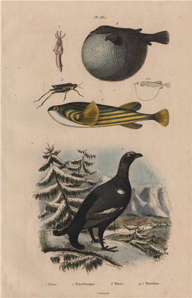 Associate Product Grouse. Tetrarhynchus. Long-horned Groundhopper. Pufferfish 1833 old print