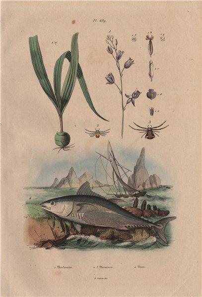 Associate Product Thiebautie. Thomisidae (Crab Spider). Thon (Tuna) 1833 old antique print